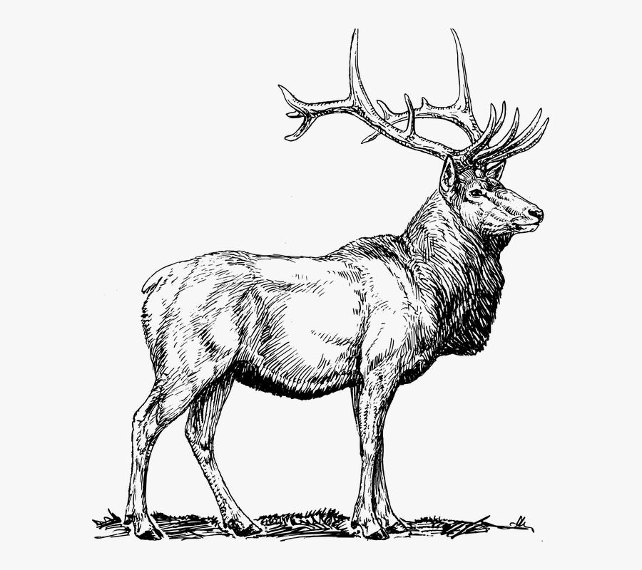 Elk, Moose, Deer, Head, Animal, Hunting, Antlers - Elk Black And White, Transparent Clipart