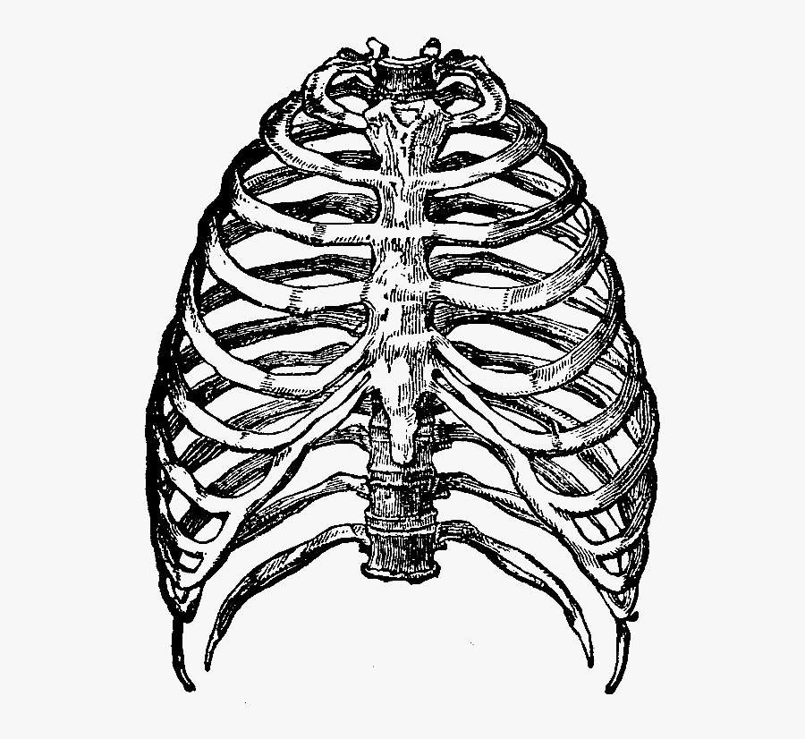 Clip Art Black And White Stock Human Drawing At Getdrawings - Skeleton Rib Cage Png, Transparent Clipart