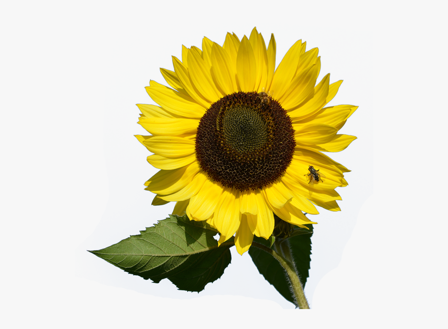 Download And Use Sunflower Png Clipart - Small Sunflower ...