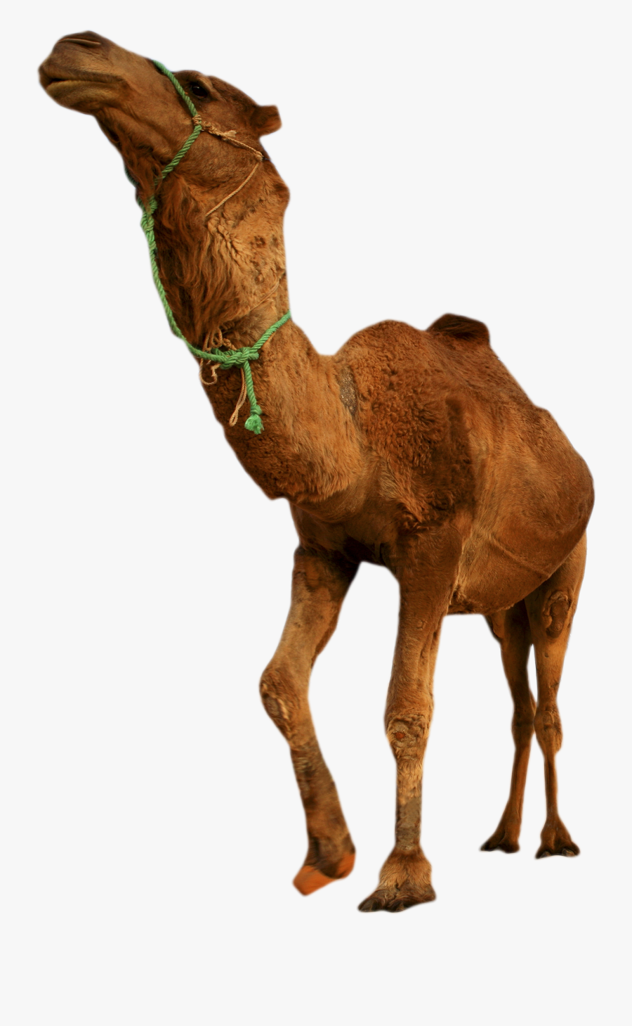 Clip Art Camel In Desert Picture - Desert Animal Png Background, Transparent Clipart