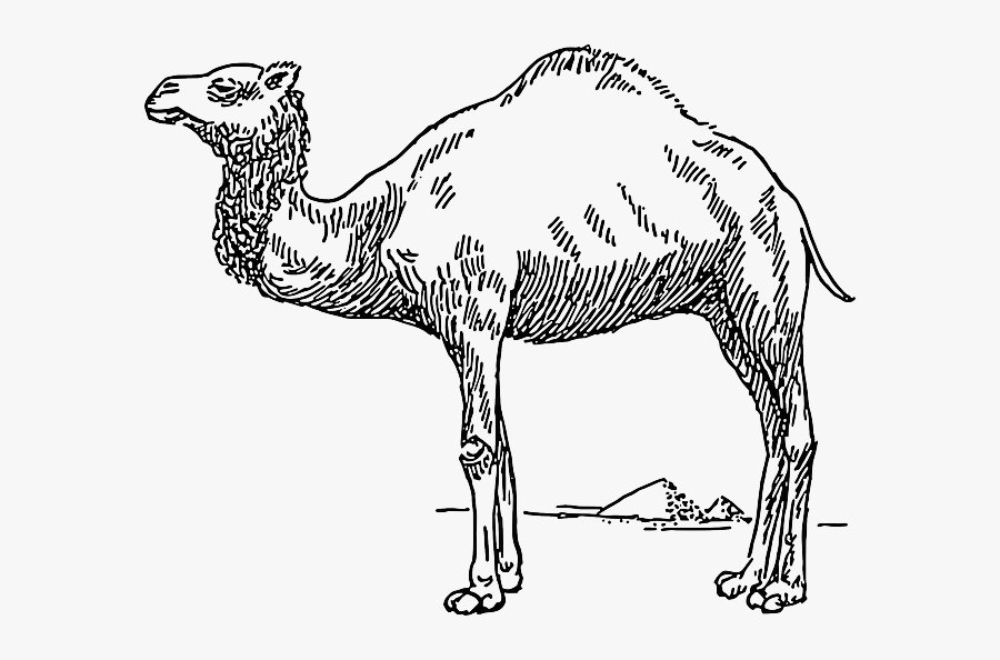 Free Pictures Drawing - Dromedary Camel Clip Art, Transparent Clipart