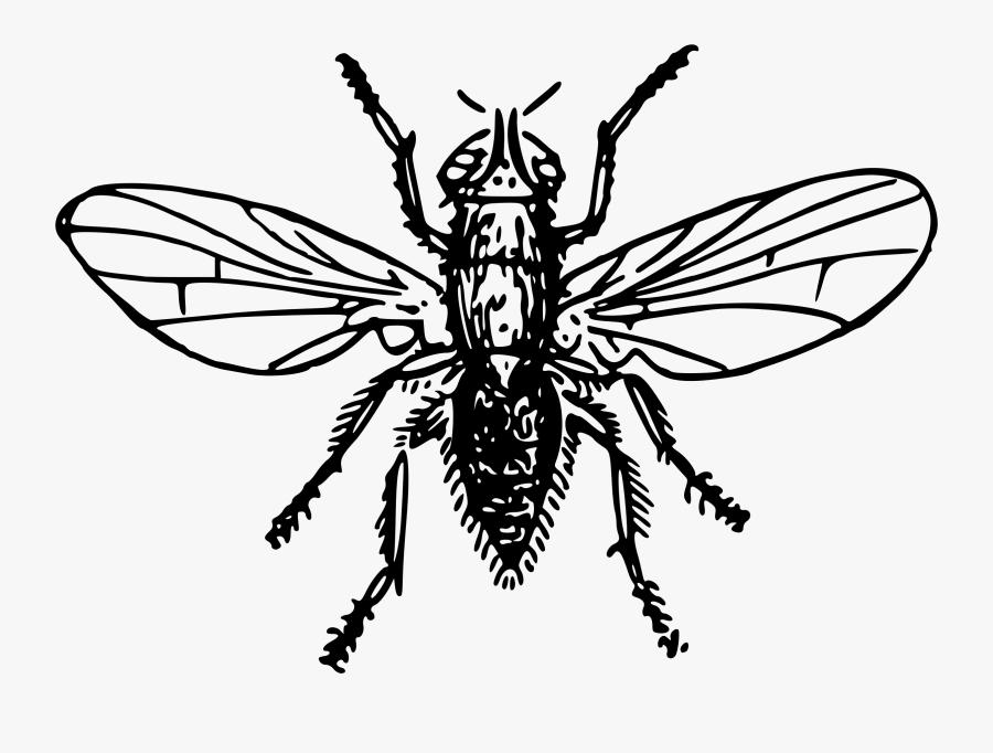 Onion Fly - Dibujo De Mosca Blanco Y Negro, Transparent Clipart