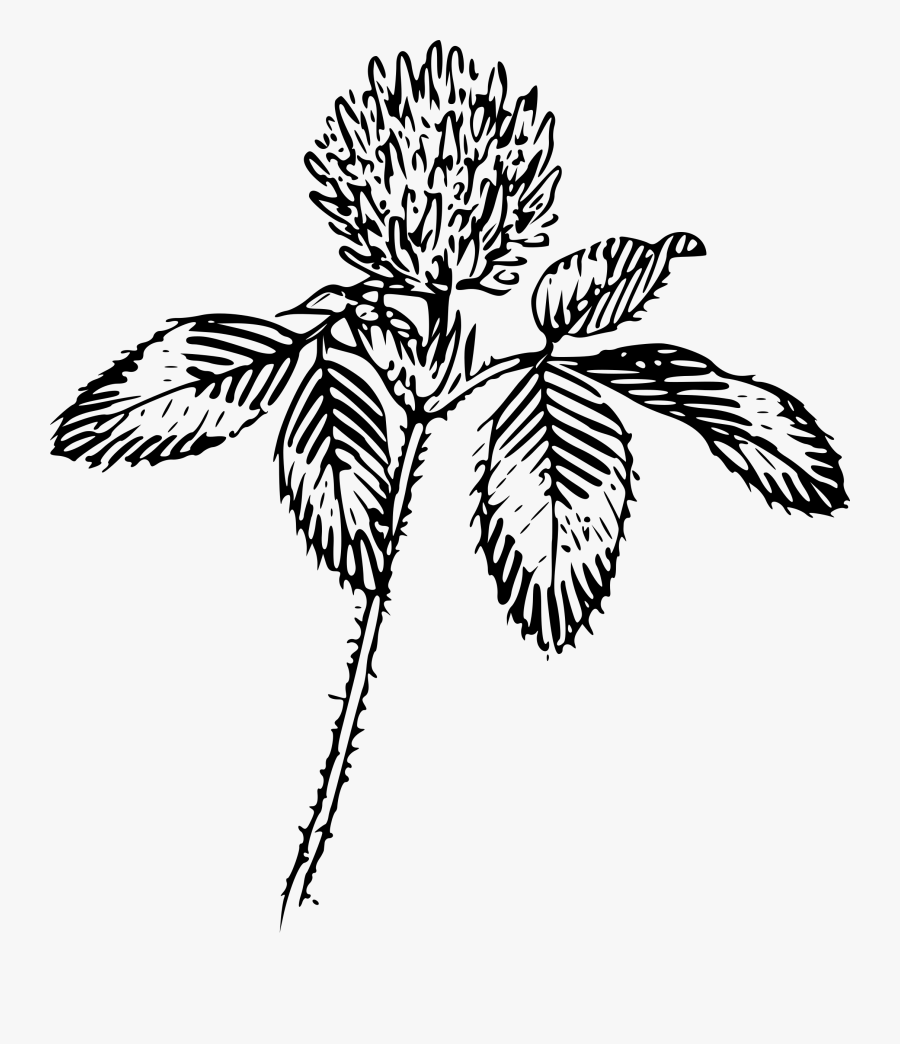 Transparent Shamrock Clipart Black And White - Red Clover Line Drawing, Transparent Clipart