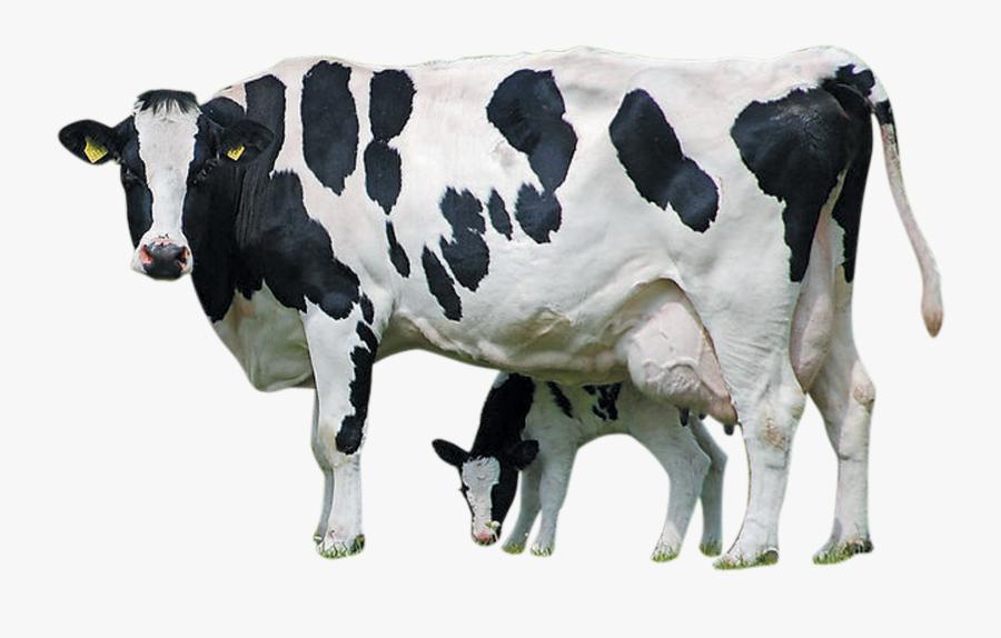 Holstein Cattle Calf Farm Livestock Dairy Transprent - Holstein Friesian Cattle Png, Transparent Clipart