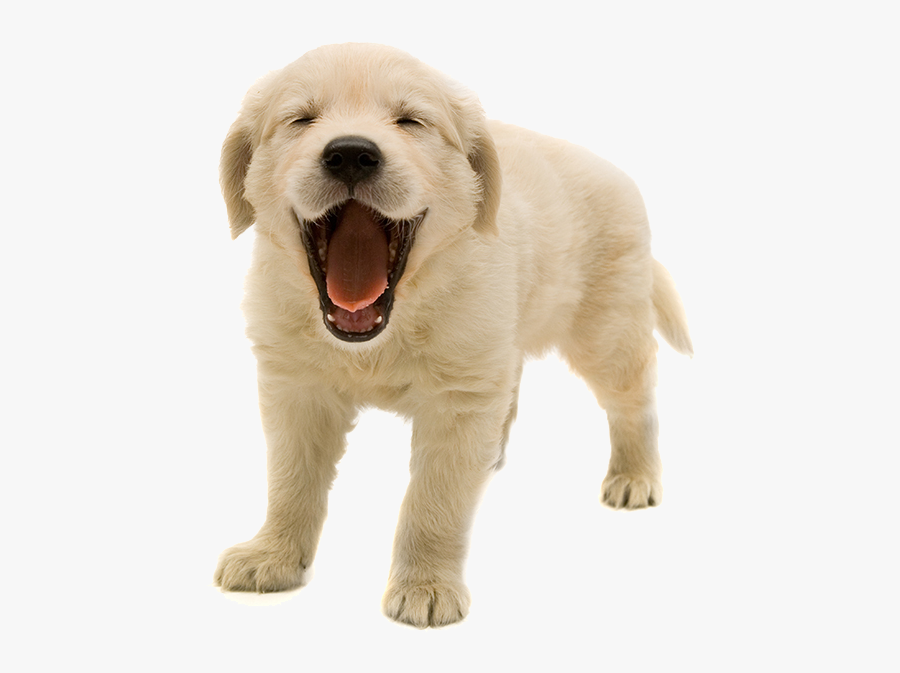 Golden Retriever Puppy Transparent Background, Transparent Clipart