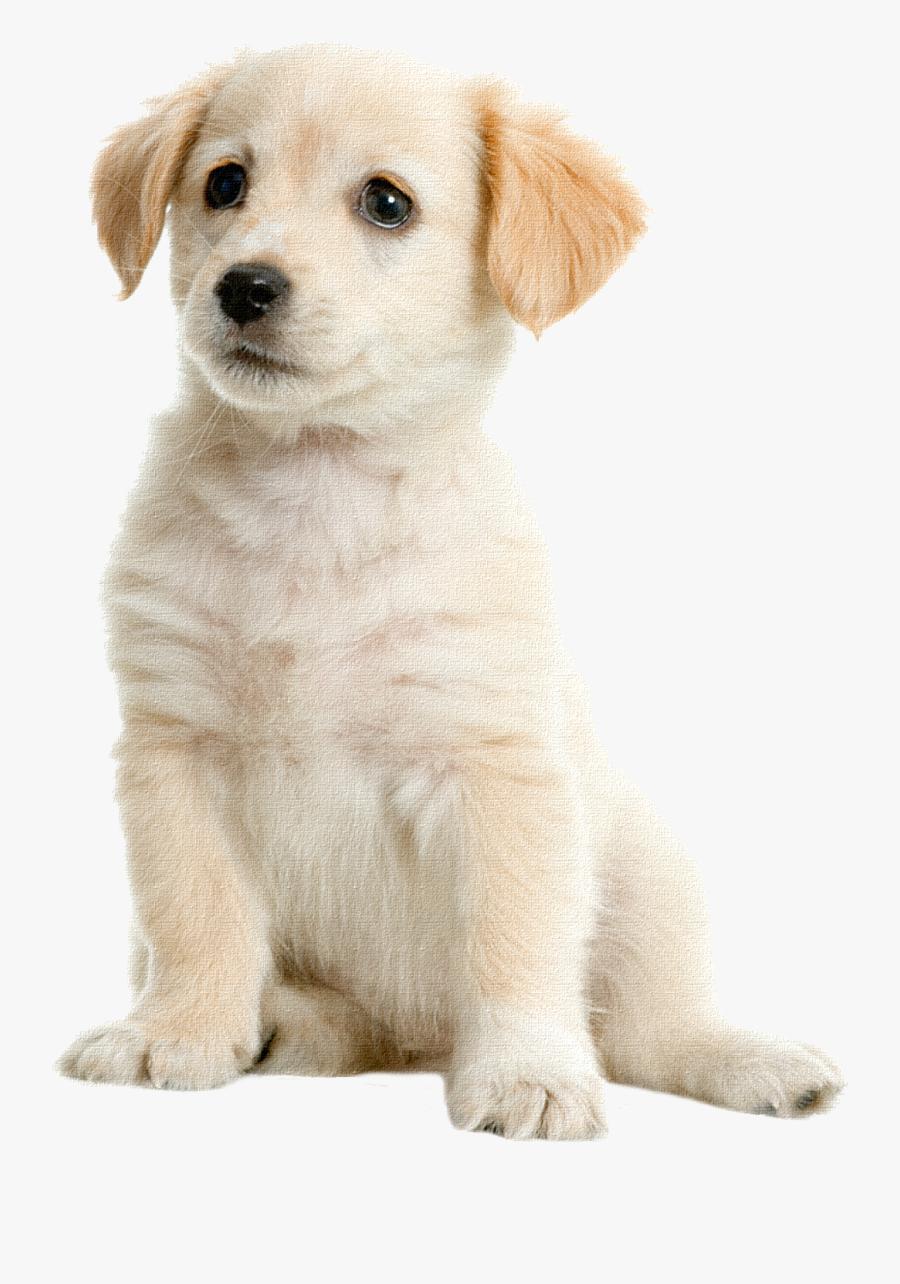 Golden Labrador Pet Boston Puppy Terrier Retriever - Puppy Dog Transparent Background, Transparent Clipart