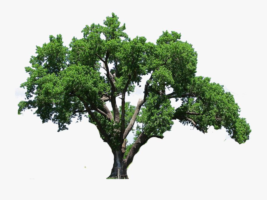 Oak Tree Clipart - Big Oak Tree Png , Free Transparent ...