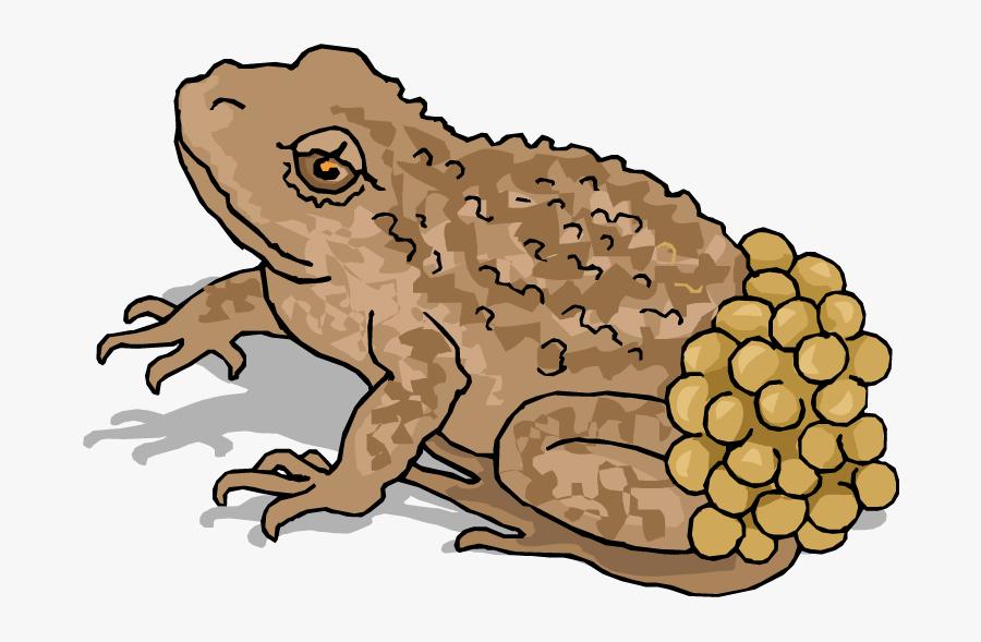 Frog Lay Egg Illustration, Transparent Clipart