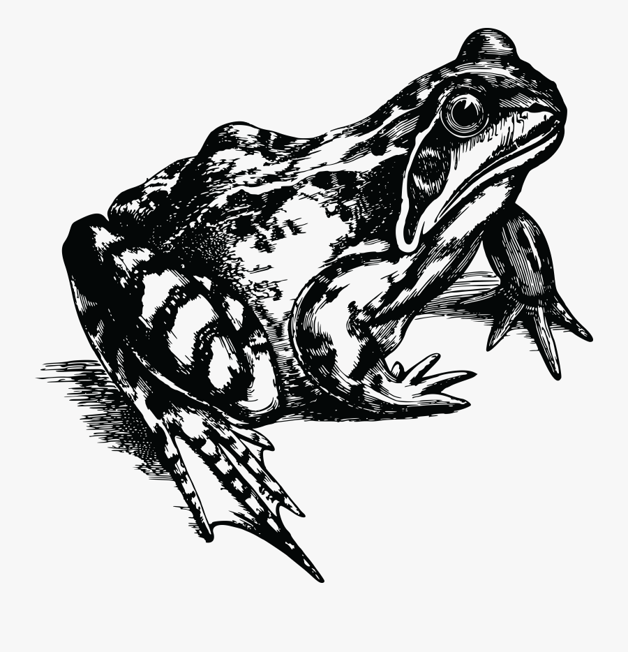 Red Eyed Tree Frog Clipart Black And White - Realistic Frog Clipart Black And White, Transparent Clipart