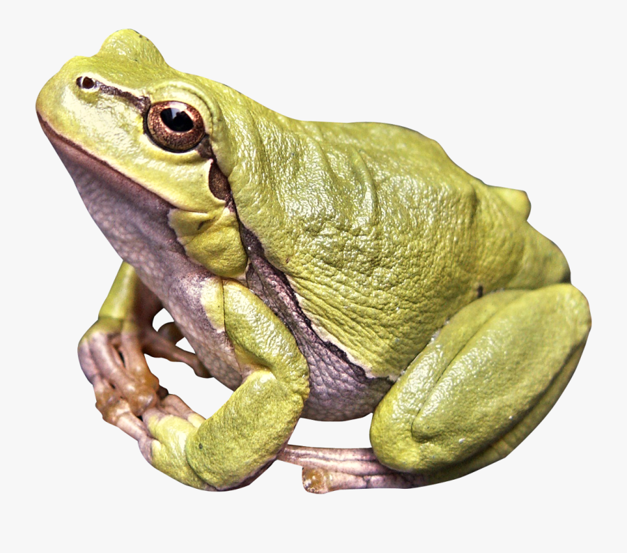 Frog Png, Transparent Clipart