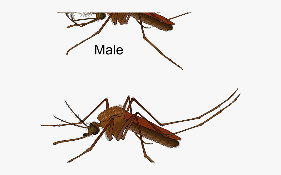 Diseases Spread Through Insects, Transparent Clipart