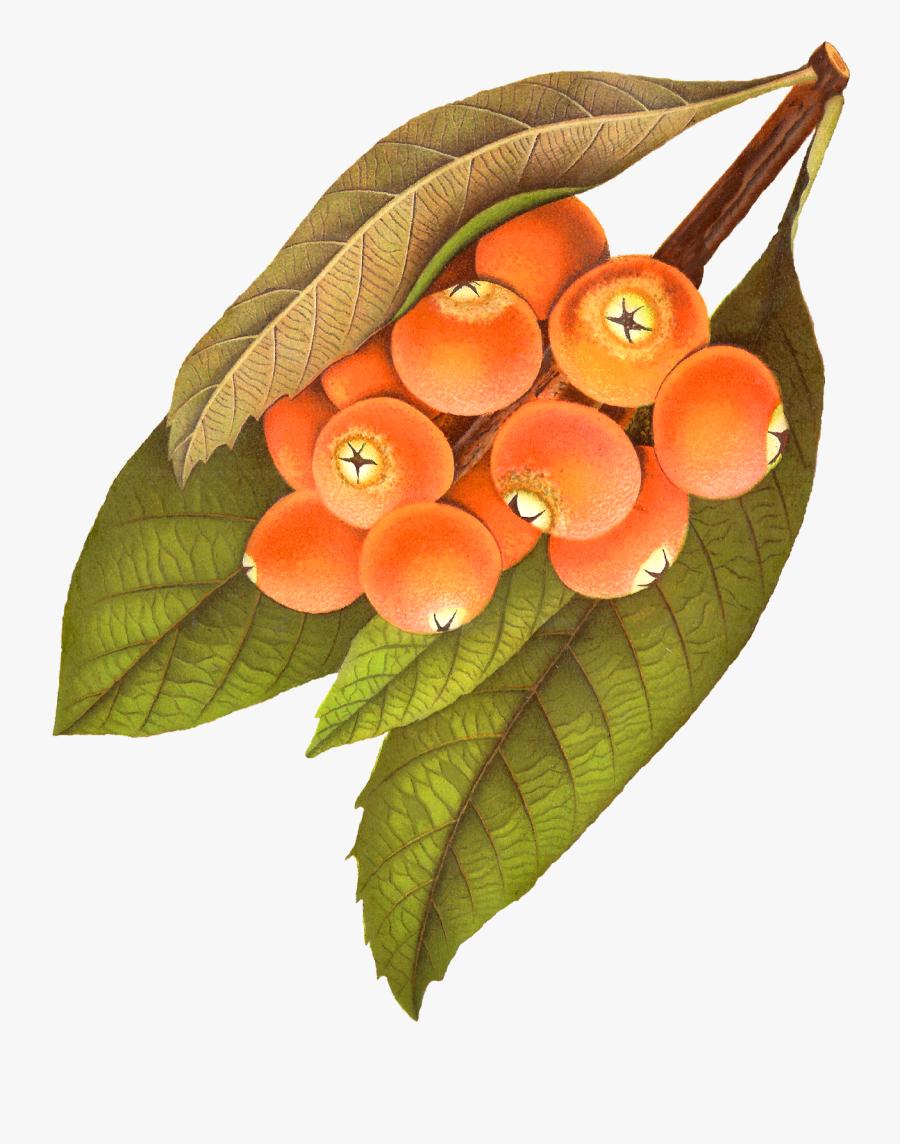 Berry Illustration Png Vintage, Transparent Clipart