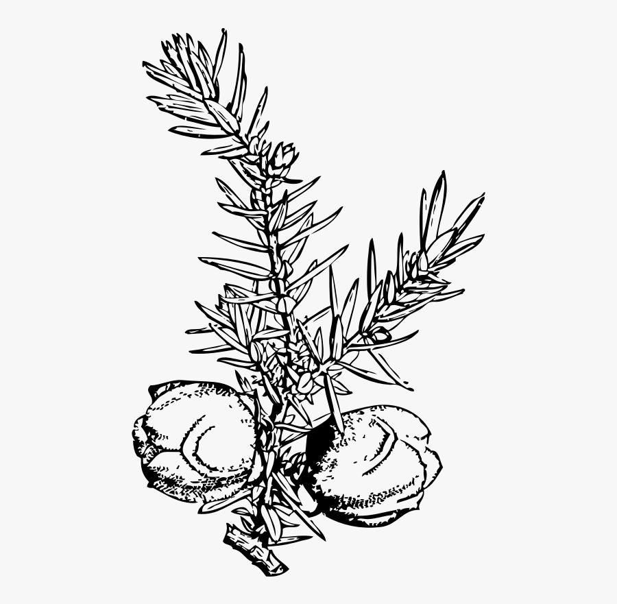 Juniper Branch And Berries Svg Clip Arts - Juniper Berries Clip Art, Transparent Clipart
