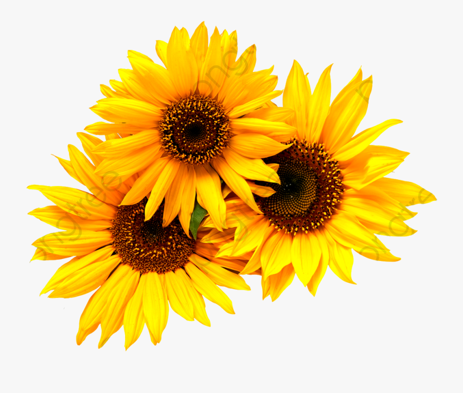 Sunflower Commercial Use Resource Upgrade To Premium - Transparent Background Sunflower Clipart, Transparent Clipart