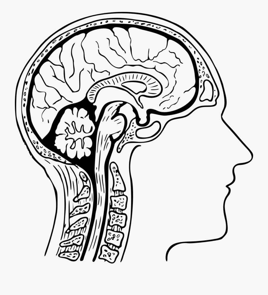 Monochrome - Human Brain Diagram Drawing , Free ...