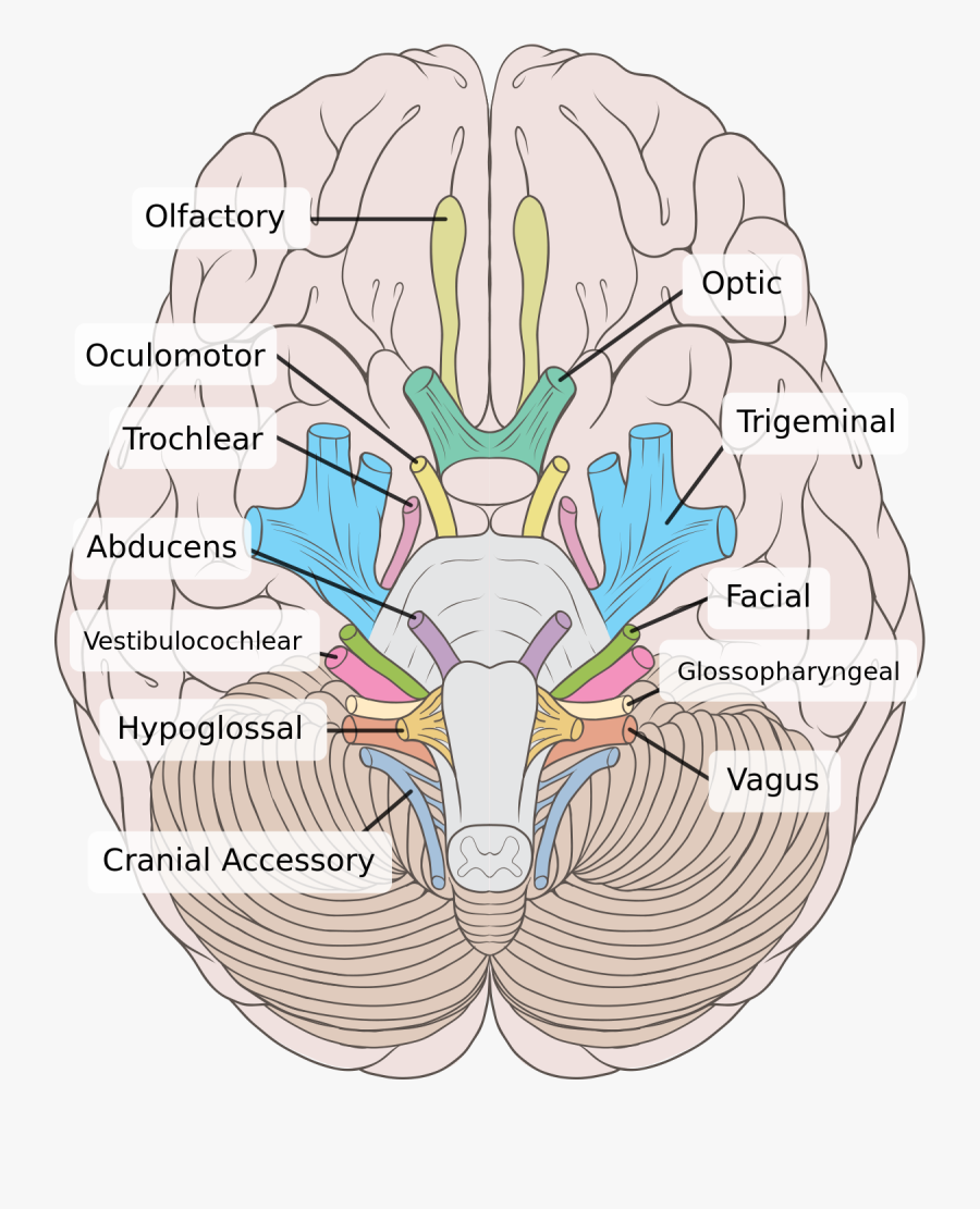 Brain Clipart Labels - Cranial Nerves Labeled , Free ...