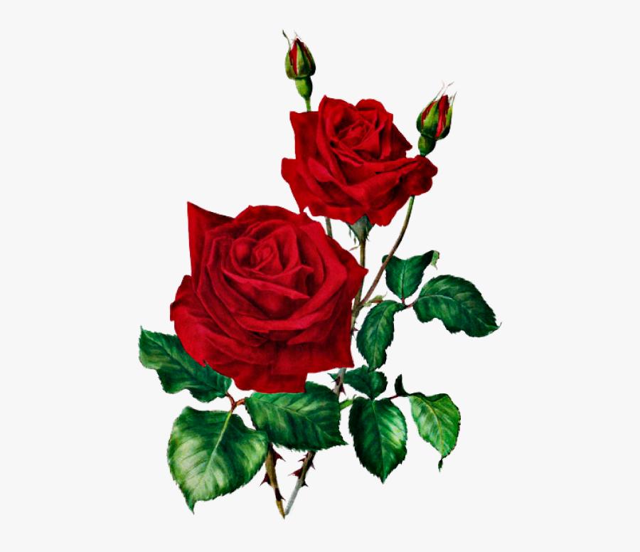 Розы Rose Clipart, Rose Images, Rose Flowers, Red Roses, - Red Roses Vintage Illustration, Transparent Clipart