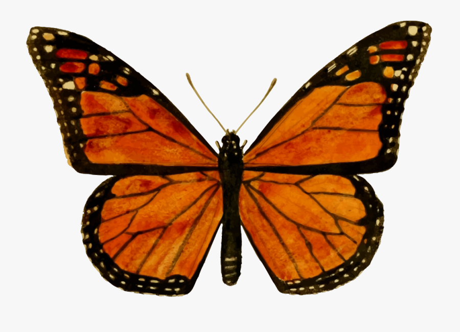 Monarch Butterfly - Monarch Butterfly Drawing, Transparent Clipart
