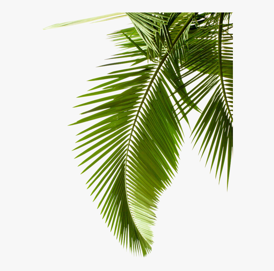 Plant Leaf Photography Tree Arecaceae Palm Leaves Clipart - Transparent Palm Tree Leaves Png, Transparent Clipart