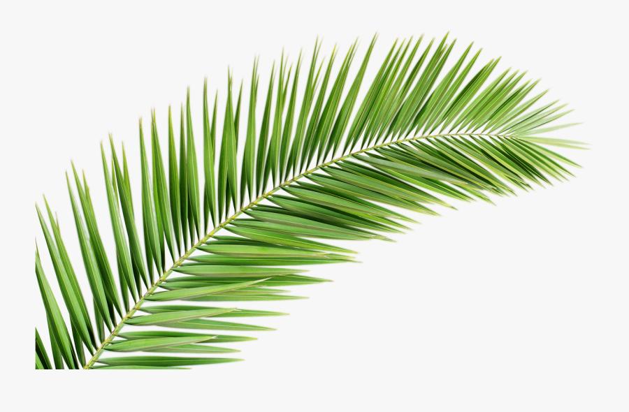 Transparent Tropical Leaf Clipart - Palm Tree Leaf Png, Transparent Clipart