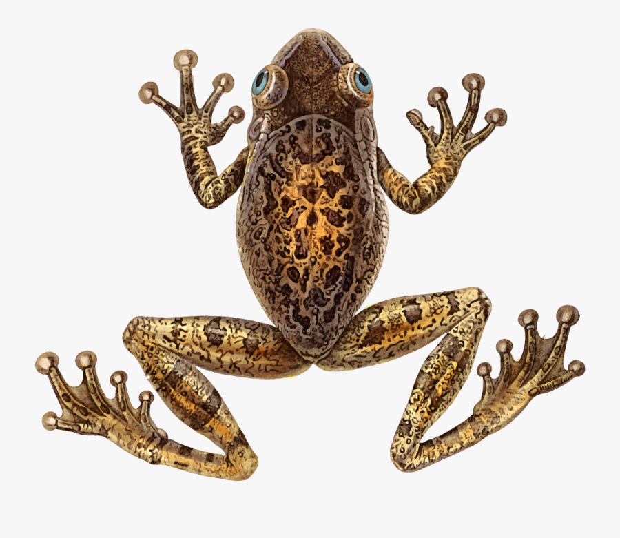 Toad,frog,terrestrial Animal - Cuban Tree Frog Png, Transparent Clipart
