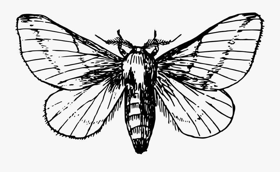 Collection Of Free Moth Drawing Easy Download On Ui - Moth Drawing, Transparent Clipart