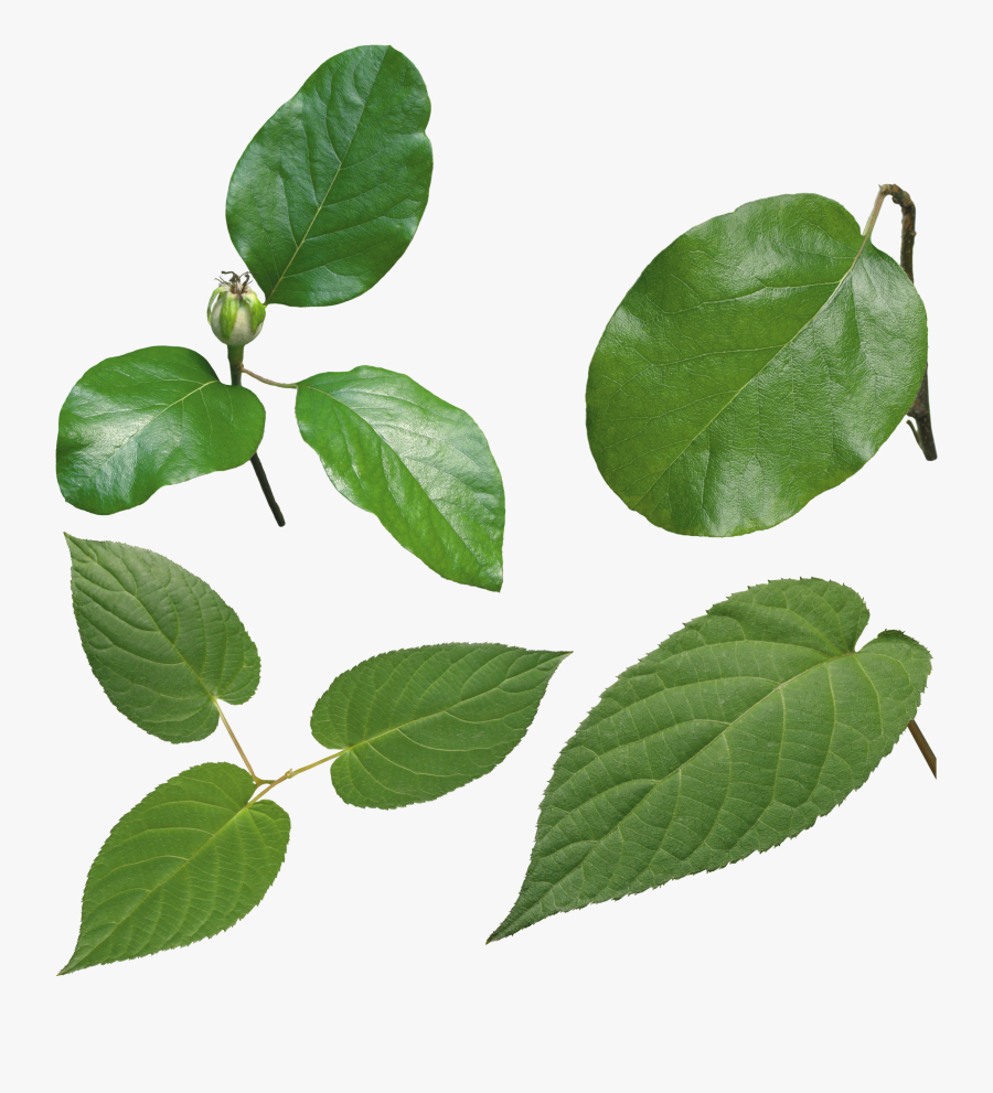 Green Leaves Images Free - Green Leaf Leaves Png, Transparent Clipart