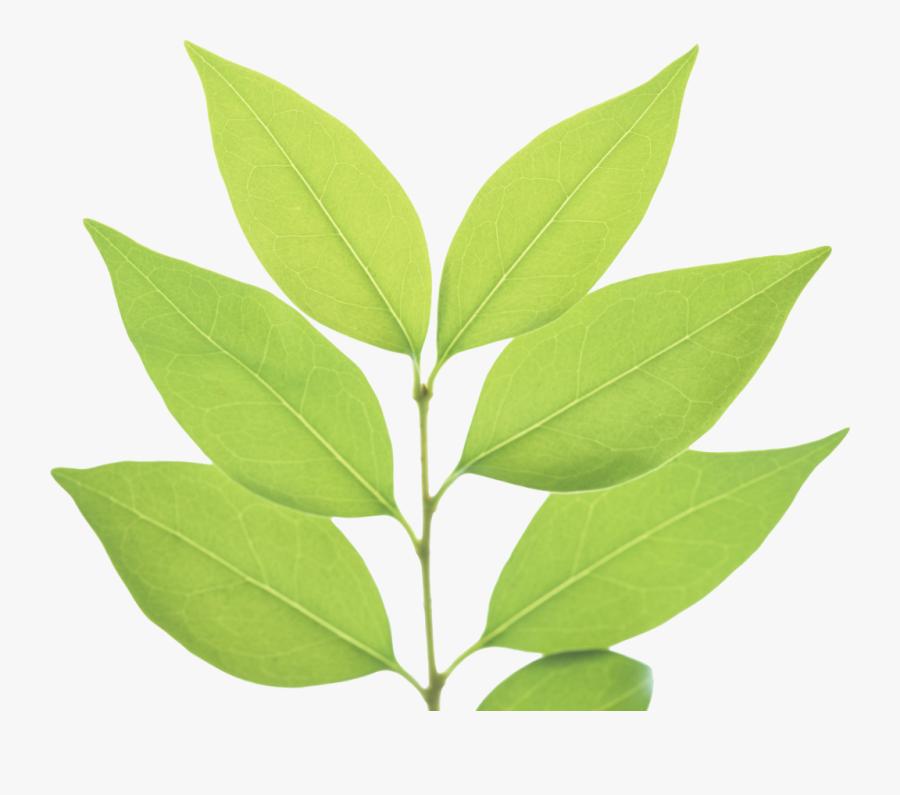 Png Green Leaves Green Leaf Png - Transparent Background Green Leaves Png, Transparent Clipart