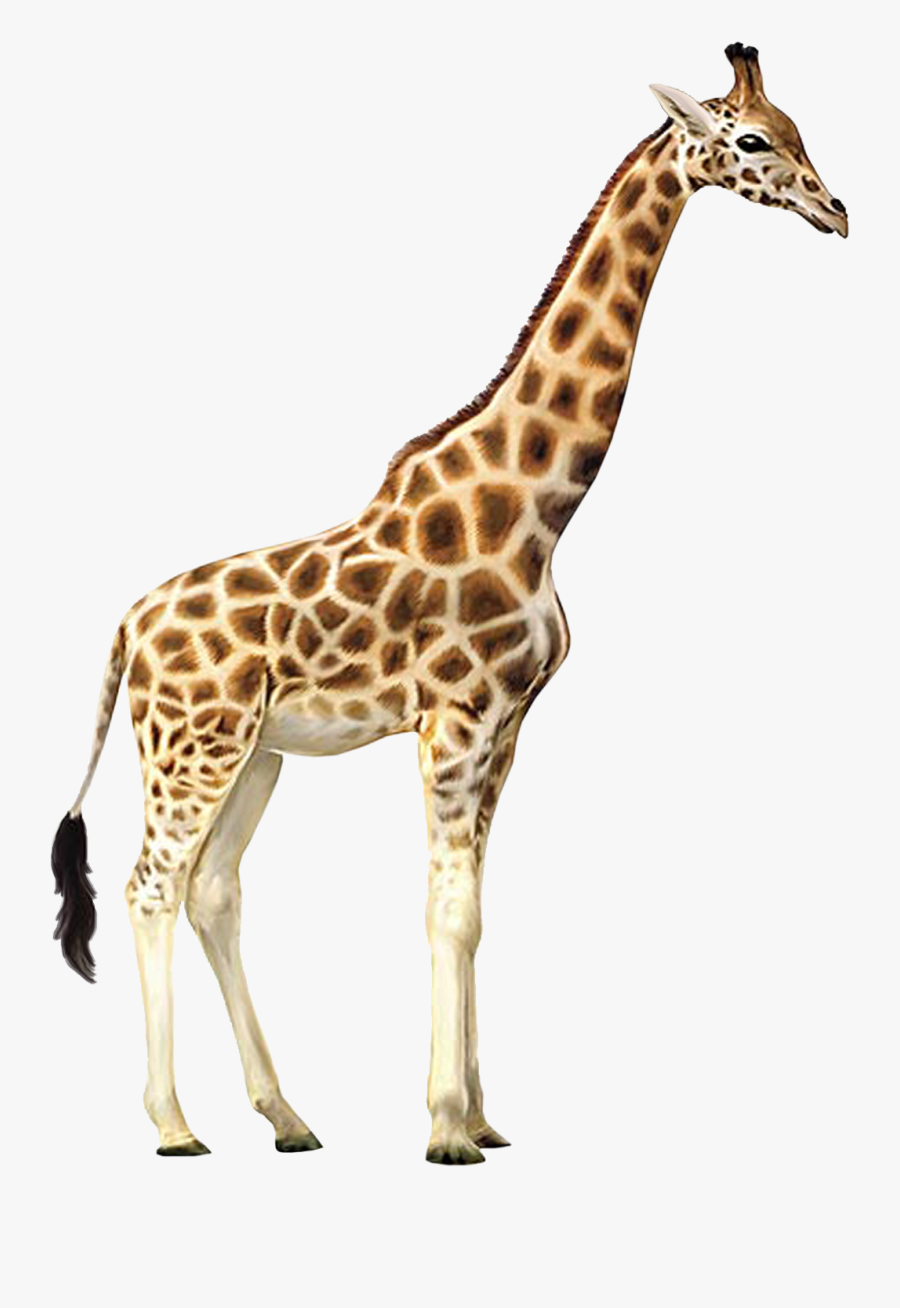 Giraffe Who Let The Kids Out Wall Decal Animal Wallpaper - Giraffe Transparent Background, Transparent Clipart