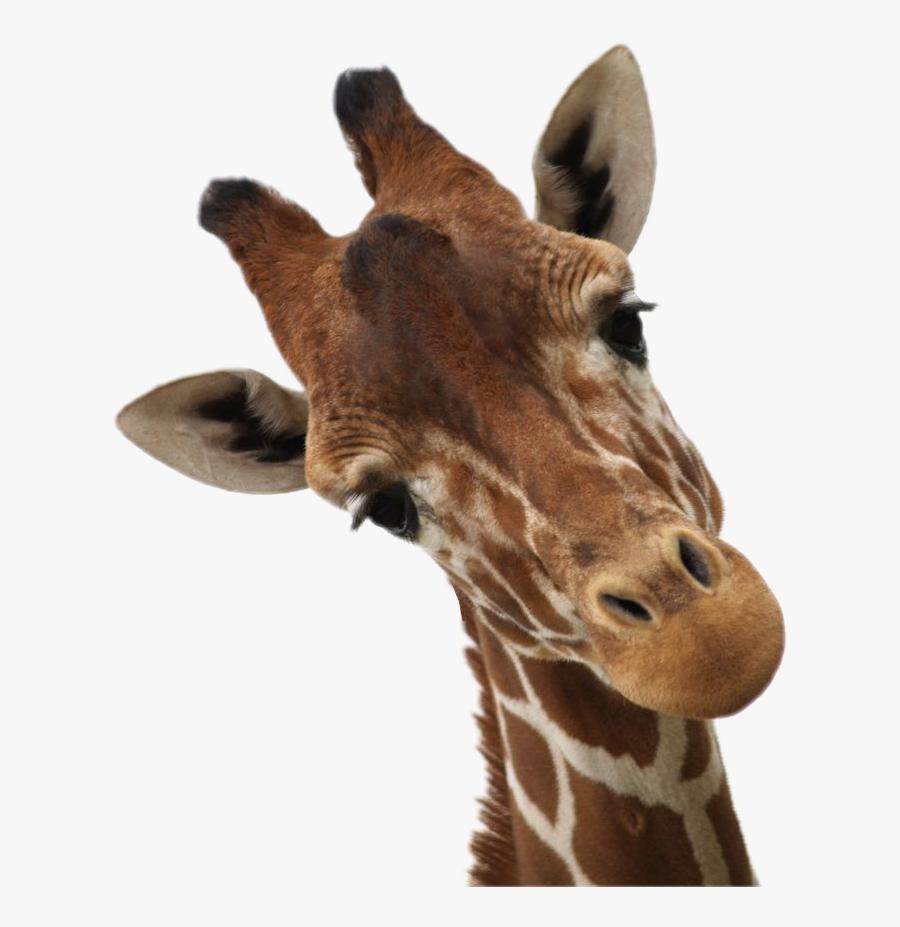 #giraffe #giraffes #sticker #clipart #africa #animal - Giraffe Looking Down At Camera, Transparent Clipart