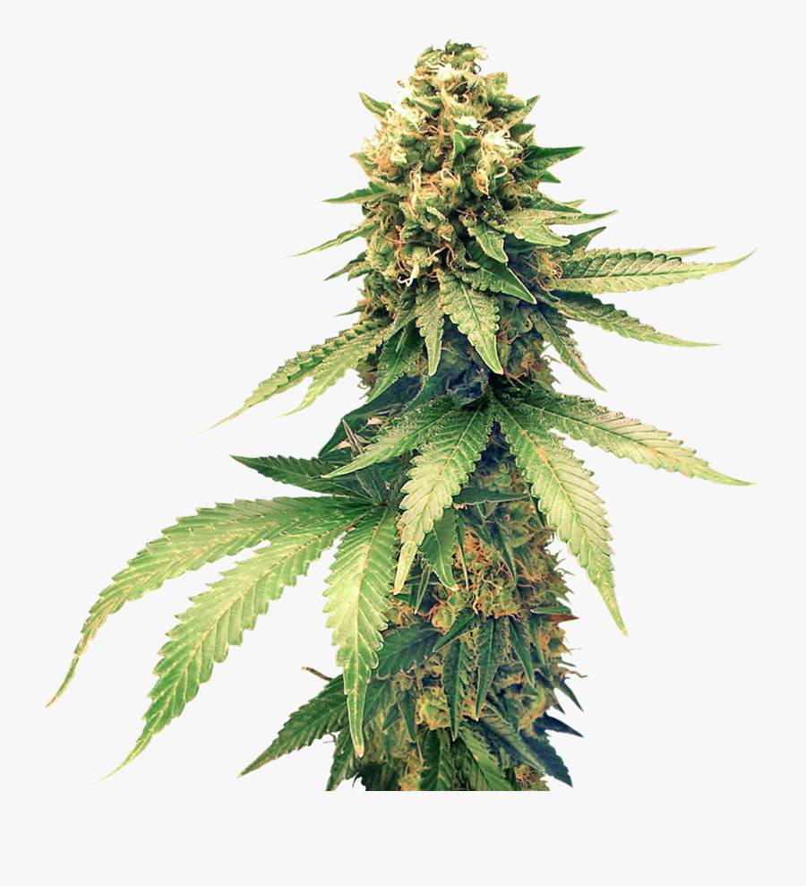 Cannabis Images Free Download - Weed Plant Png, Transparent Clipart