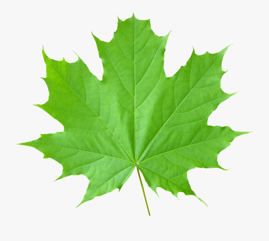 Green Leaf Png - Maple Green Leaf Png, Transparent Clipart