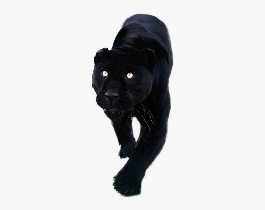 Totally Transparent Resources Images - Black Panther Animal Transparent, Transparent Clipart