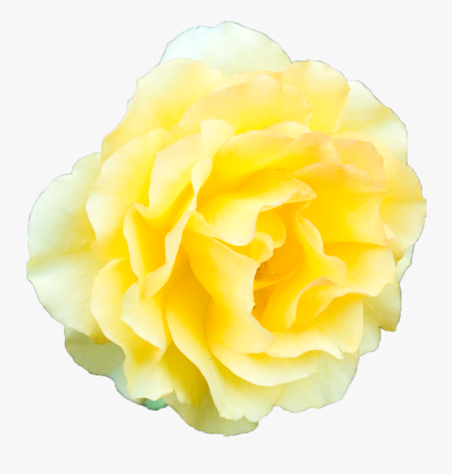 yellow rose transparent background clipart png download yellow flower transparent background free transparent clipart clipartkey yellow rose transparent background