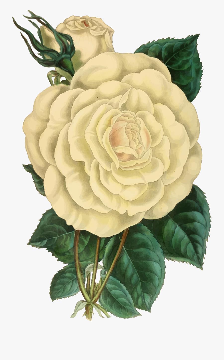 Clipart - Vintage Rose Illustration Png, Transparent Clipart