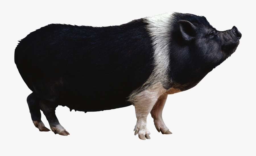 Fourteen Isolated Stock Photo - Black Pig Png, Transparent Clipart