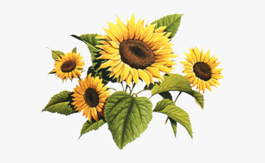 Victorian Clip Art Sun Flower Vintage Sunflower Drawing Png Free Transparent Clipart Clipartkey