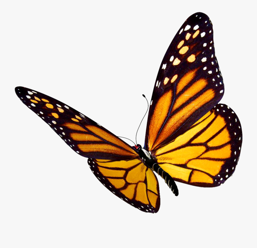 Monarch Butterfly Insect Clip Art - Draw A Realistic Butterfly, Transparent Clipart