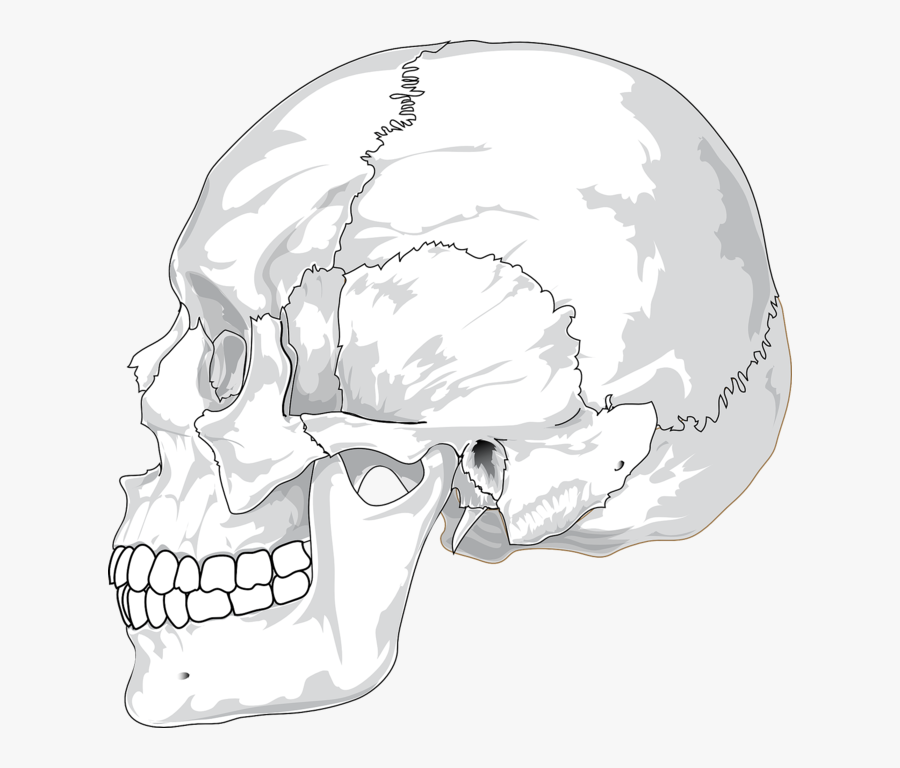 Human Skull Side View Svg Clip Arts - Human Skull Side View Drawing, Transparent Clipart