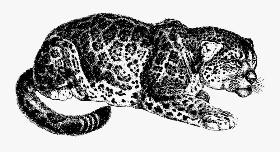 Animal, Cat, Feline, Jaguar, Mammal - Most Dangerous Game Png, Transparent Clipart