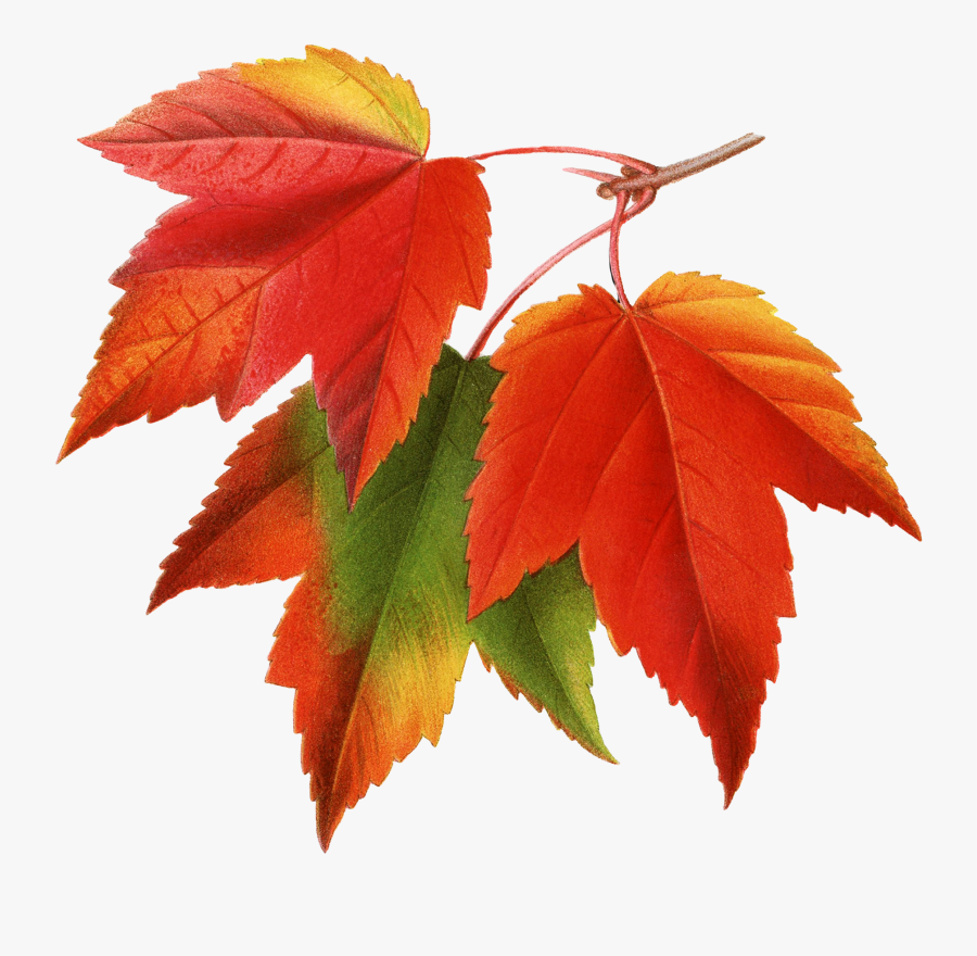 Canada Japanese Maple Red Maple Maple Leaf Clip Art - Fall Leaves Png, Transparent Clipart