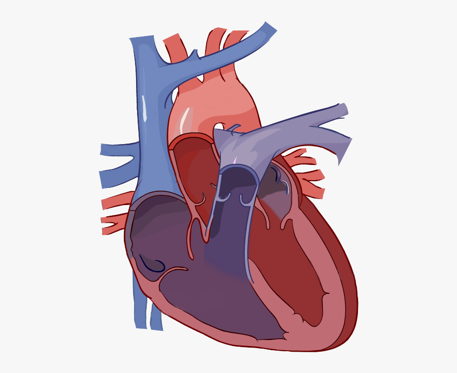 Label The Heart Science Learning Hub Jpg Free Library ...