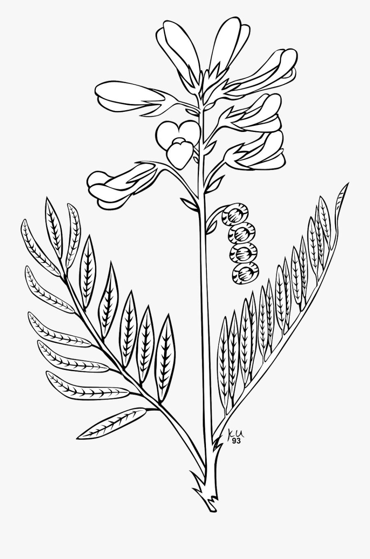 Bunga Lavender Clip Art Sketsa Gambar Bunga Lavender