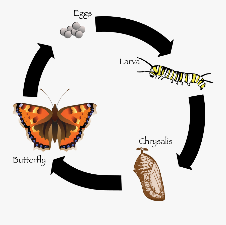 Clip Art Life Freeuse Huge - Butterfly Life Cycle In Sinhala, Transparent Clipart