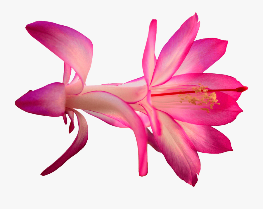Transparent Clipart Free Download - Hd Cactus Flower Transparent Png, Transparent Clipart