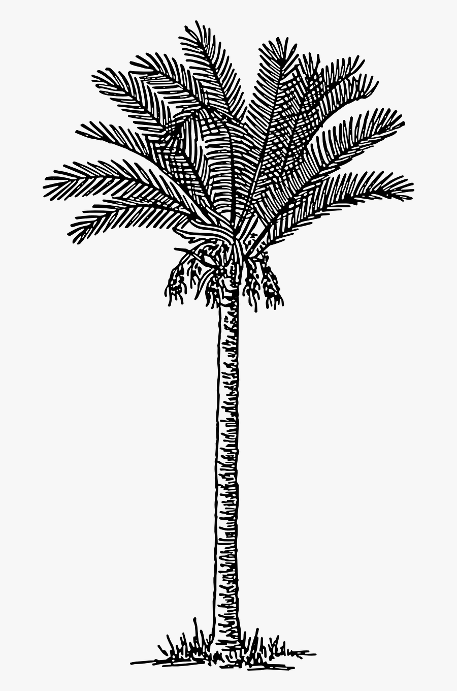 Clip Art Trees Plants Drawing Free - Date Palm Tree Drawing, Transparent Clipart
