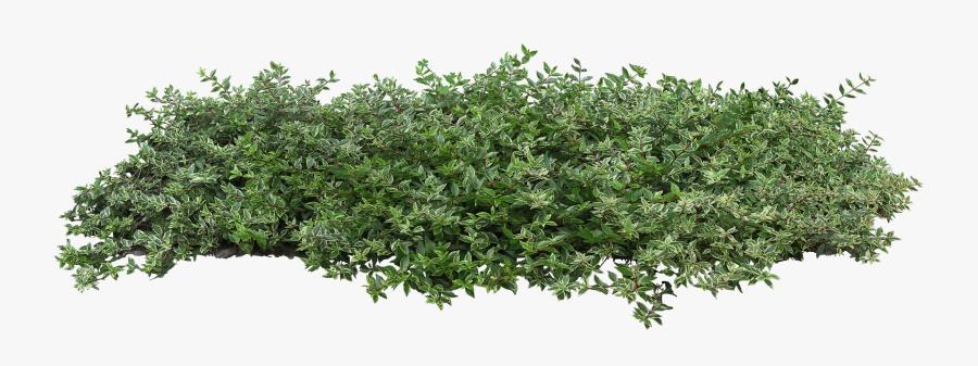 Bushes Plant Populus Nigra Tree Architecture Shrub - Transparent Background Bushes Png, Transparent Clipart