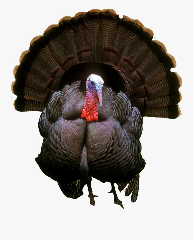 Photos Vector Clipart Psd - Wild Turkey Transparent Background, Transparent Clipart