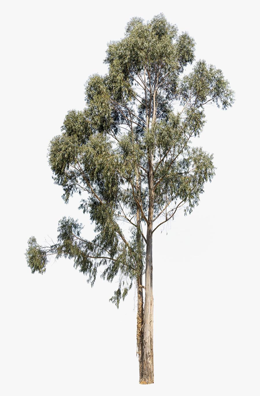 Transparent Kumquat Clipart - Eucalyptus Tree Cutout, Transparent Clipart