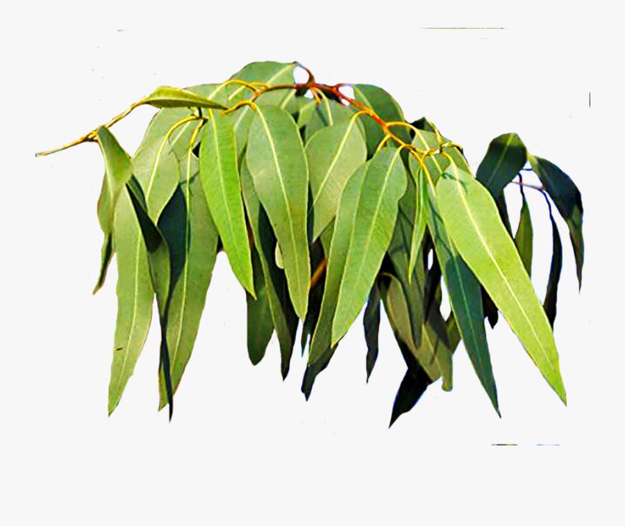 Free Download Eucalyptus Leaves Clipart Leaf Eucalyptus - ยู คา ลิ ป ตั ส ชื่อ วิทยาศาสตร์, Transparent Clipart